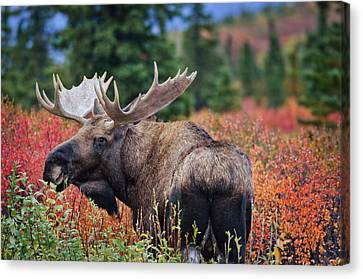 Bull Moose In The Fall Colors Canvas Print by Thomas Payer