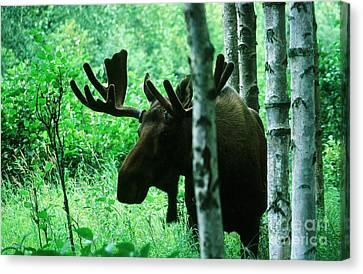 Bull Moose  Canvas Print by Ronnie Glover