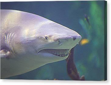 Bull Shark Head Canvas Print by Paul Svensen