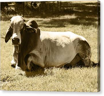 Bull Canvas Print by Steve Sperry
