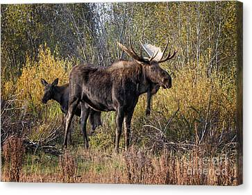 Bull Tolerates Calf Canvas Print by Ronald Lutz