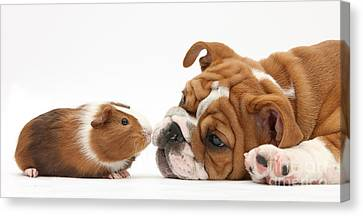 Bulldog Pup Face-to-face With Guinea Pig Canvas Print by Mark Taylor