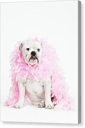Bulldog Wearing Feather Boa Canvas Print by Max Oppenheim