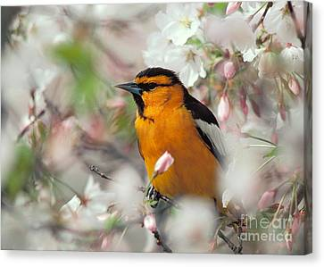 Bullock's Oriole Canvas Print by Doug Herr