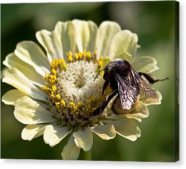 Canvas Print featuring the photograph Bumble Bee  by Anna Rumiantseva