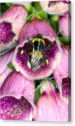 Bumblebee And Foxglove Hybrid Canvas Print by Dr Jeremy Burgess