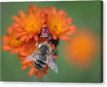 Canvas Print featuring the photograph Bumblebee And Orange Hawkweed by Ronda Broatch