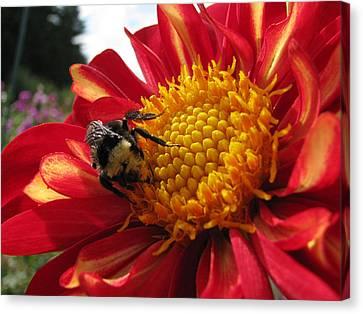 Bumblebee Dahlia 1 Canvas Print