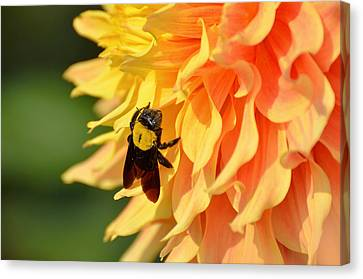 Bumblebee Canvas Print by Fotosas Photography