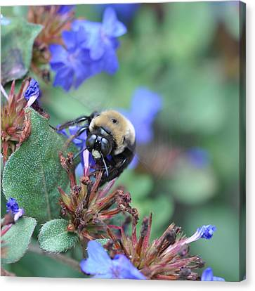 Bumblebee In Plumbago Larpentae Canvas Print