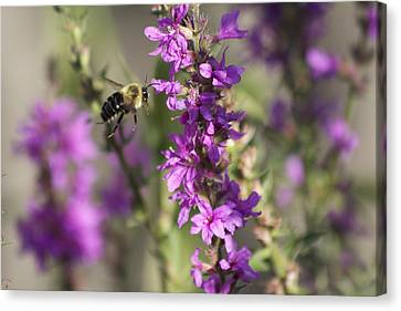 Bumblebee On The Fly Canvas Print by Michel DesRoches
