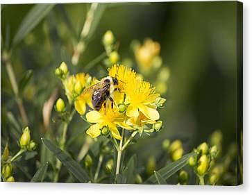 Bumblebee On Yellow Canvas Print
