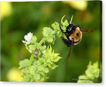 Bumbling On The Basil Canvas Print by Paula Tohline Calhoun