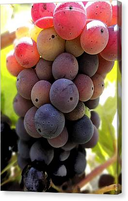 Bunch Of Ripening Grapes Canvas Print by Anne Mott