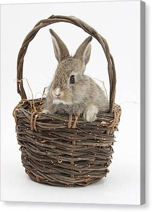 House Pet Canvas Print - Bunny In A Basket by Mark Taylor