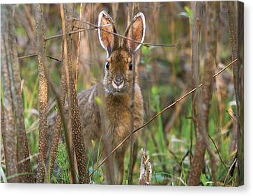 Canvas Print featuring the photograph Bunny by Josef Pittner