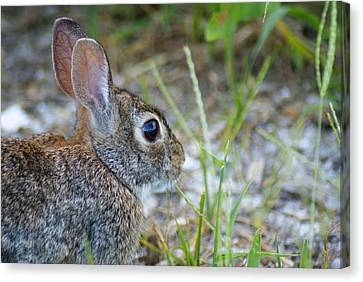 bunny Upclose Canvas Print by Florene Welebny
