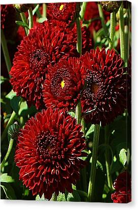 Burgandy Mums Canvas Print by Bruce Bley