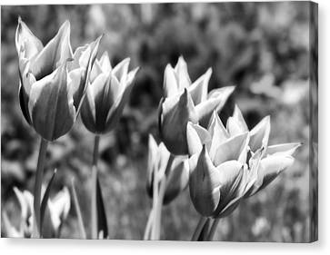 Burgundy Yellow Tulips In Black And White Canvas Print by James BO  Insogna