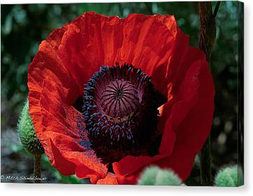 Canvas Print featuring the photograph Burning Poppy by Mitch Shindelbower