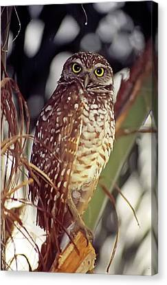 Canvas Print featuring the photograph Burrowing Owl by Geraldine Alexander
