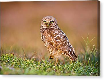Burrowing Owl Canvas Print by TNWA Photography