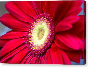 Burst Of Red Canvas Print