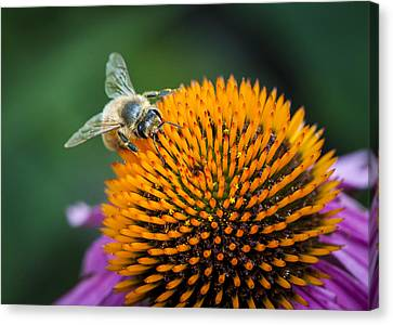 Busy Bee Canvas Print by Jen Morrison