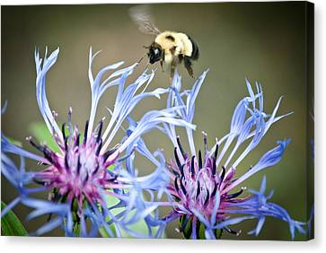 Busy Bee Canvas Print by Laura Pineda
