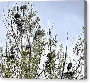 Busy Heron Rookery Canvas Print