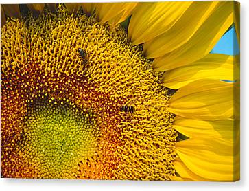 Busy Sunflower Canvas Print