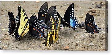 Butterfles And More Butterflies Canvas Print by Marty Koch