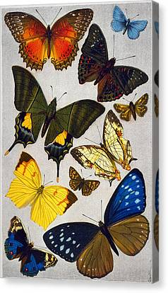 Butterflies, 19th Century Canvas Print by Granger