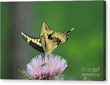 Canvas Print featuring the photograph Butterflies Are Free by Kathy  White