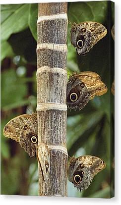 Butterflies Canvas Print by Bilderbuch
