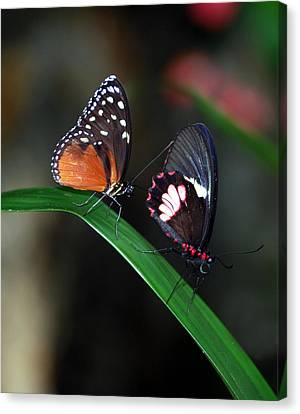 Butterflies Canvas Print by Skip Willits