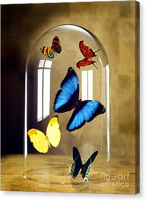 Butterflies Under Glass Dome Canvas Print by Tony Cordoza