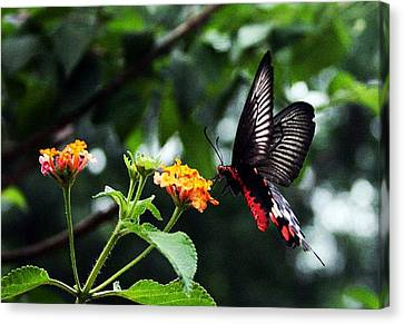 Butterflower Canvas Print by Sanjay Avasarala