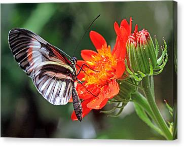 Canvas Print featuring the photograph Butterfly - Orange by Larry Nieland