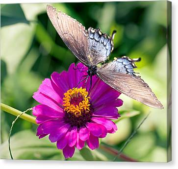 Canvas Print featuring the photograph Butterfly  by Anna Rumiantseva