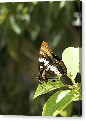 Canvas Print featuring the photograph Butterfly At Rest by Betty Depee