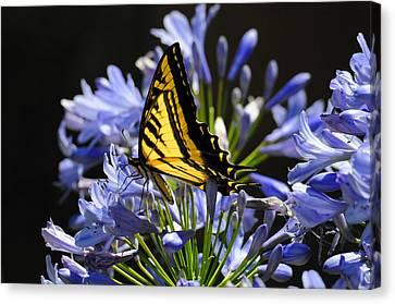 Butterfly Catcher Canvas Print by Lynn Bauer