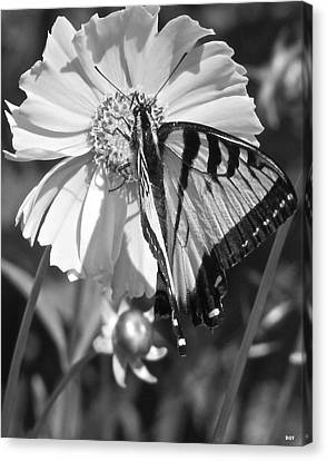 Butterfly Collection Black White Canvas Print by Debra     Vatalaro