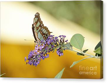 Butterfly Lavender Branch Canvas Print by Andrea Hazel Ihlefeld