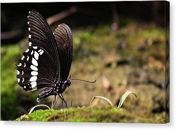 Butterfly Feeding  Canvas Print by Ramabhadran Thirupattur