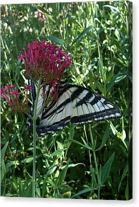 Canvas Print featuring the photograph Butterfly Garden by Jeremiah Colley
