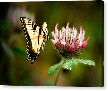 Butterfly Canvas Print by Gary Rose