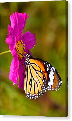 Butterfly II Canvas Print by Fotosas Photography