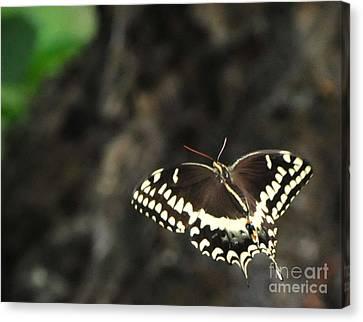 Butterfly In Flight Canvas Print by Paul Ward