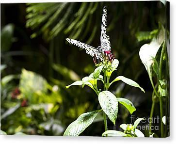 Butterfly Kisses Canvas Print by Leslie Leda